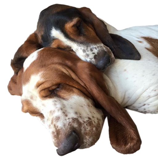 two basset hound dogs sleeping