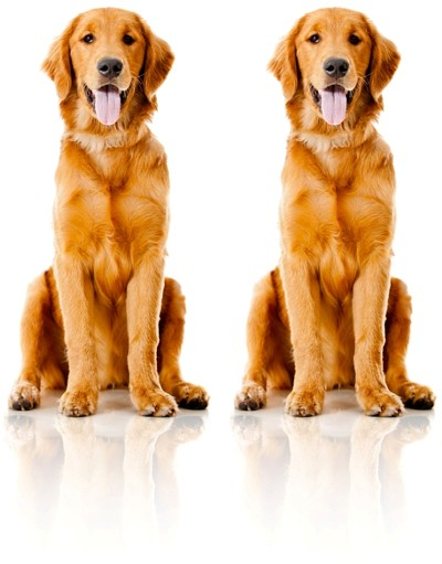 Two Identical Golden Retrievers sitting nicely