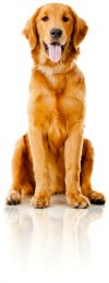One Golden Retriever sitting nicely