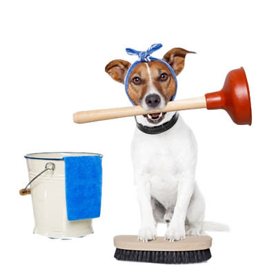 Jack Russell Terrier with a cleaning bucket, brush and plunger in his mouth.