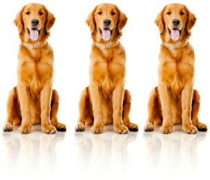 Three Identical Golden Retrievers sitting nicely