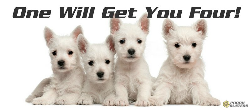 four little white puppies on white background