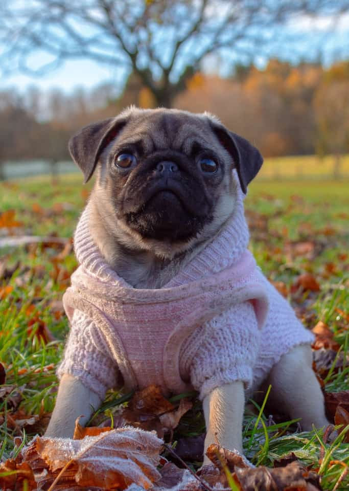 pug wearing sweater sitting in autumn leaves